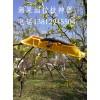 苹果树压枝器