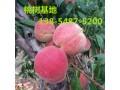 2公分桃树苗、3公分桃树苗价格品种图片