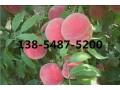 供应3公分桃树苗、4公分桃树苗报价多少钱一棵