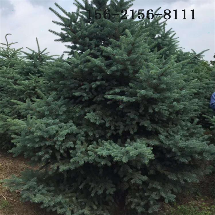 现货直销 2.5米、3米云杉 3.5米云杉树、4米、5米云杉