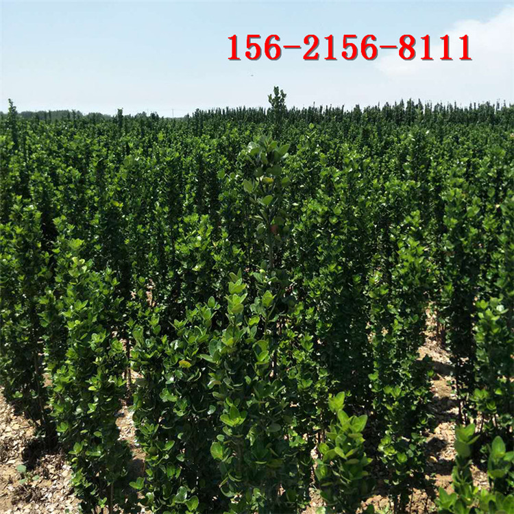 黄杨基地、1米、1.5米、1.8米北海道黄杨、2米北海道黄杨