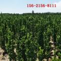 黄杨基地、1米、1.5米、1.8米北海道黄杨、2米北海道黄杨0