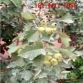 批發甜紅子山楂苗、2公分3公分大金星/大五棱/大棉球山楂苗