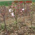 出售1-10公分絢麗海棠 12公分絢麗海棠、15公分絢麗海棠