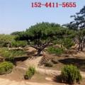 供應造型黑松 泰山景松 1米2米造型景松 3米造型油松價格
