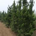 批發蜀檜基地、2米蜀檜價格 2.5米、3米蜀檜、4米蜀檜