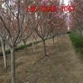 染井吉野櫻花、6公分8公分陽光櫻、12公分染井吉野櫻花