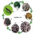 生態黑水虻養殖