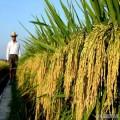 正宗雙季稻批發合作