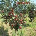 山楂苗多少钱一棵\1-5公分大金星、大五棱、大棉球山楂树苗