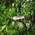 湘果园果树压枝器可任意调整枝条角度