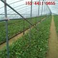 山东樱桃苗基地_1公分2公分矮化樱桃苗、红灯-黑珍珠樱桃苗