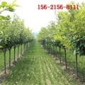 批发6公分高杆阳光樱花树_7公分8公分樱花 9公分高杆樱花