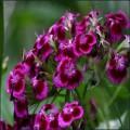 多年生花卉種子
