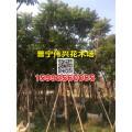 麻楝樹產地 麻楝樹價格 5-20公分優質麻楝樹供應商