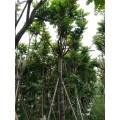 麻楝樹哪里有 米徑5公分8公分10公分麻楝樹袋苗出售