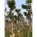 麻楝樹袋苗 廣東10公分麻楝樹袋苗種植基地