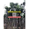 麻楝樹產地 優質15公分麻楝樹袋苗專業供應商