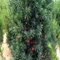 陜西紅豆杉苗木