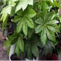 綠化苗木八角金盤種植基地