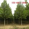 基地3公分法桐、4公分法桐、5公分法桐_6公分、8公分法桐树