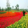 西安哪里批發草花