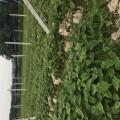 蒲江红心猕猴桃树苗种植基地