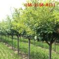 供應4公分高桿櫻花 5公分6公分櫻花 7公分8公分高桿櫻花樹