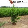 基地40公分50公分蜀檜 1-2米蜀檜 2.5米蜀檜3米蜀檜