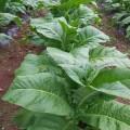 中國生態蔬菜