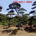 出售10公分、20公分景松1米造型黑松 2米3米4米造型景松