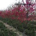 红叶碧桃多少钱、4公分5公分红叶碧桃、6公分8公分红叶碧桃