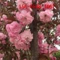 现货出售6公分8公分染井吉野樱花 10公分普贤象樱花 阳光樱