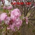 出售染井吉野樱花、10公分染井吉野樱花,12公分普贤象樱花