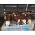 吉林哪里卖黄牛?