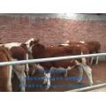 吉林哪里卖肉牛?
