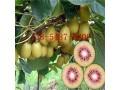 南方盆栽猕猴桃苗果树苗、嫁接猕猴桃苗成活率高 (0)