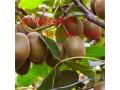 供应红心猕猴桃苗、2年苗3年苗、软枣猕猴桃苗价格 (0)