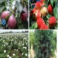 西安果樹苗批發