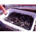 现有大量黑鱼苗上市,价格低,质量好,存活率高