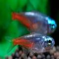 熱帶觀賞魚類喂養技術
