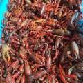 贵州种虾哪里购买