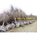 山东6公分樱花、山东7公分樱花、山东8公分樱花供应商