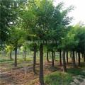 国槐种植 润轩苗圃 14公分国槐树苗 原生冠国槐出售