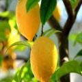 新鲜黄柠檬市场价