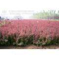 潢川红叶小檗苗