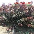 红叶碧桃_1-6公分红叶碧桃、7公分8公分9公分红叶碧桃树