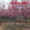 樱花树_1-8公分樱花树、9公分10公分樱花、12公分樱花树