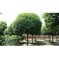 锦艺苗木成都红叶石楠基地,专业成都元宝枫基地多年高产量高品质