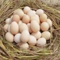 新鮮土雞蛋現貨供應
